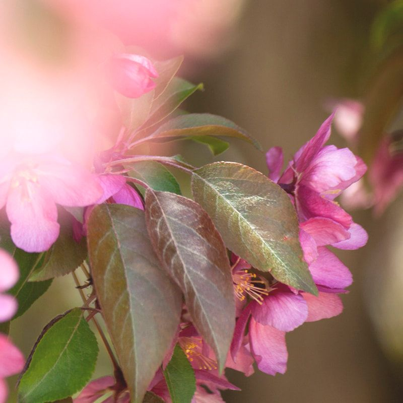 Apple Blossom Photography, Mindfulness